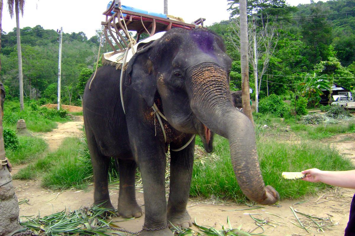 ช้างในภูเก็ต